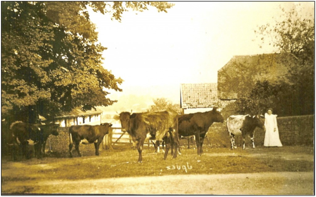 Mrs Rebbeck (probably) stands at the entrance to Tucker's Farm with her cattle in about 1914.